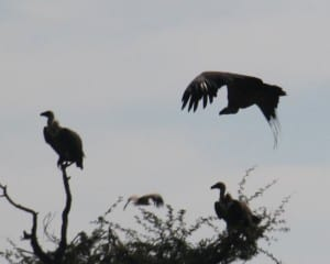 Rare vultures
