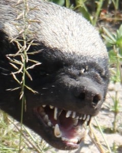An angry Honey Badger